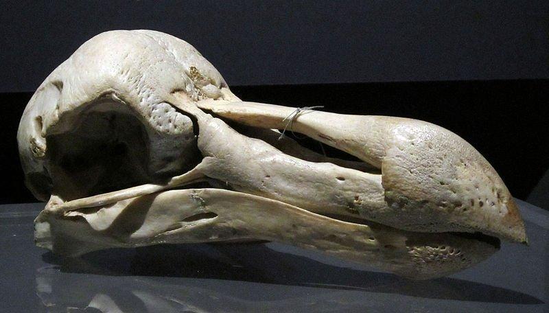 Cráneo de pájaro dodo, originario de Madagascar y extinto por la caza indiscriminada