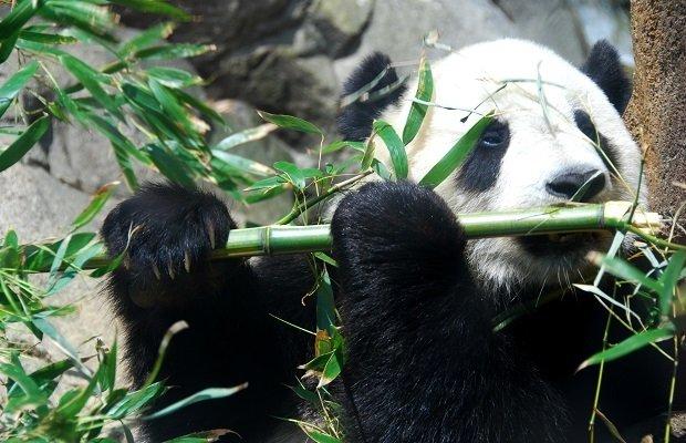El bambú es el alimento principal del oso panda