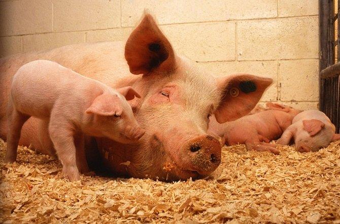 Por lo visto, unos adorables cerdos protagonizaban algunas de las imágenes