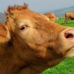 Quantified Ag es el wearable para vacas que quiere mejorar la ganadería