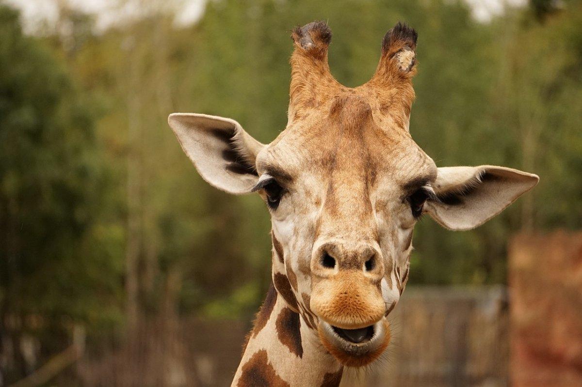 Una hipotética amada jirafa del supuesto Jacques Giraf